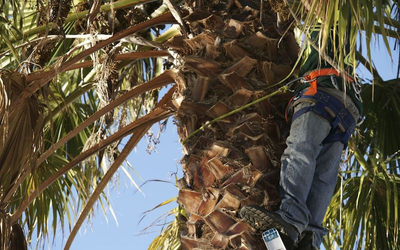 Picture of a tree climber in a large palm tree trimming dead branches in Hawaii